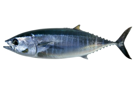 Bluefin tuna isolated on white Thunnus thynnus